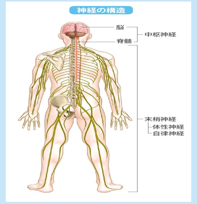 脊髄神経の分布